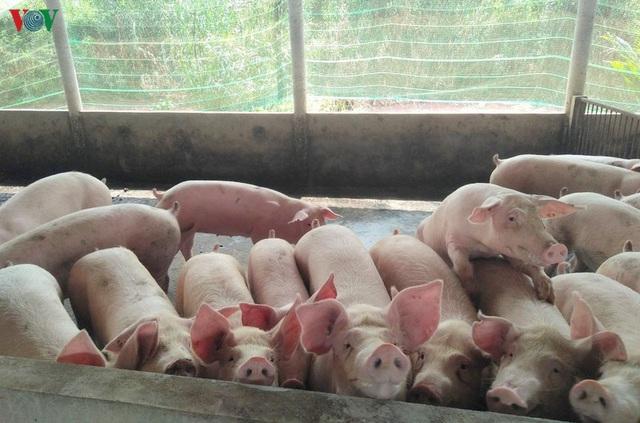 Lợn sống nhập khẩu từ Thái Lan về Việt Nam: Từng bước hiện thực hóa việc bình ổn giá lợn trên thị trường - Ảnh 2.