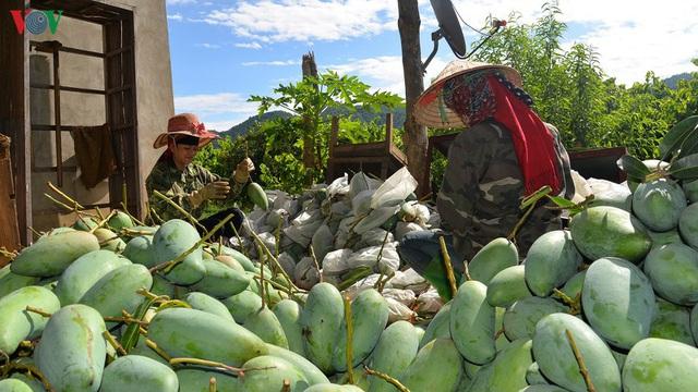 Nông dân Sơn La phấn khởi khi xoài xuất khẩu sang nhiều nước - Ảnh 1.