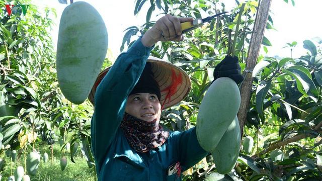 Nông dân Sơn La phấn khởi khi xoài xuất khẩu sang nhiều nước - Ảnh 2.