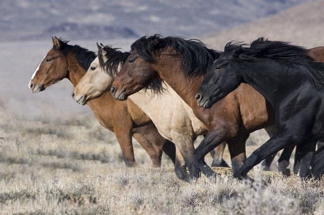 Cái chết của loài ngựa hoang: Đùng đùng lửa giận đòi ăn thua ngay không phải đối sách hay trước kẻ tiểu nhân - Ảnh 2.