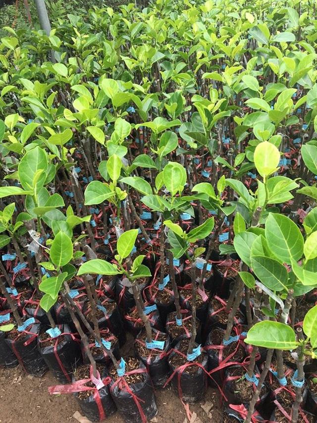 """Những giống cây ăn quả siêu năng suất khiến nông dân """"phát sốt"""" - Ảnh 2."""
