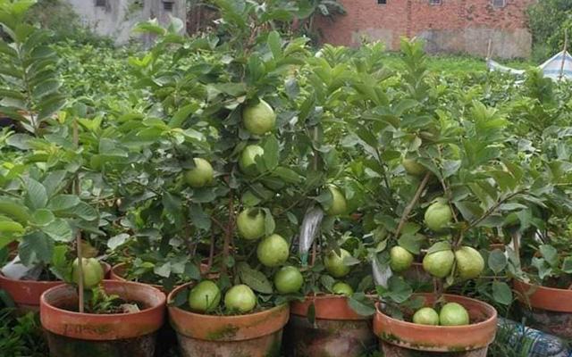 """Những giống cây ăn quả siêu năng suất khiến nông dân """"phát sốt"""" - Ảnh 11."""