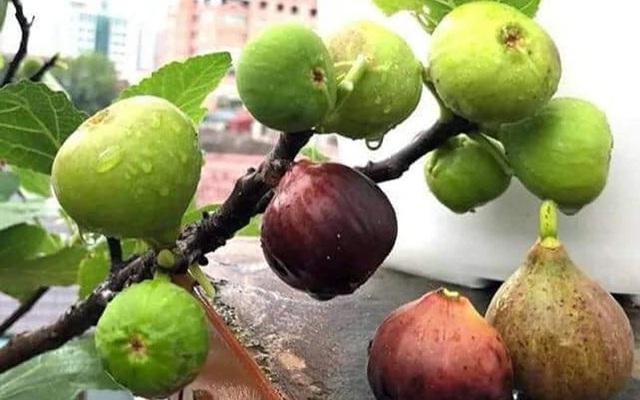 """Những giống cây ăn quả siêu năng suất khiến nông dân """"phát sốt"""" - Ảnh 15."""