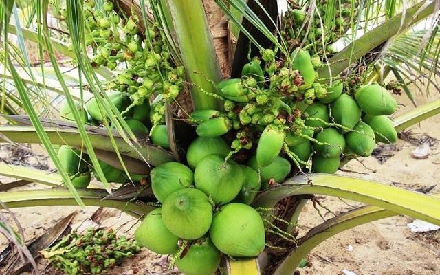 """Những giống cây ăn quả siêu năng suất khiến nông dân """"phát sốt"""" - Ảnh 17."""