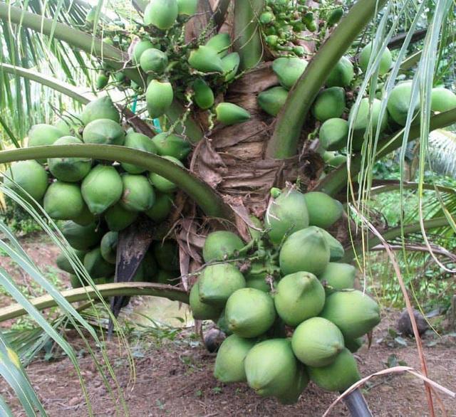 """Những giống cây ăn quả siêu năng suất khiến nông dân """"phát sốt"""" - Ảnh 18."""