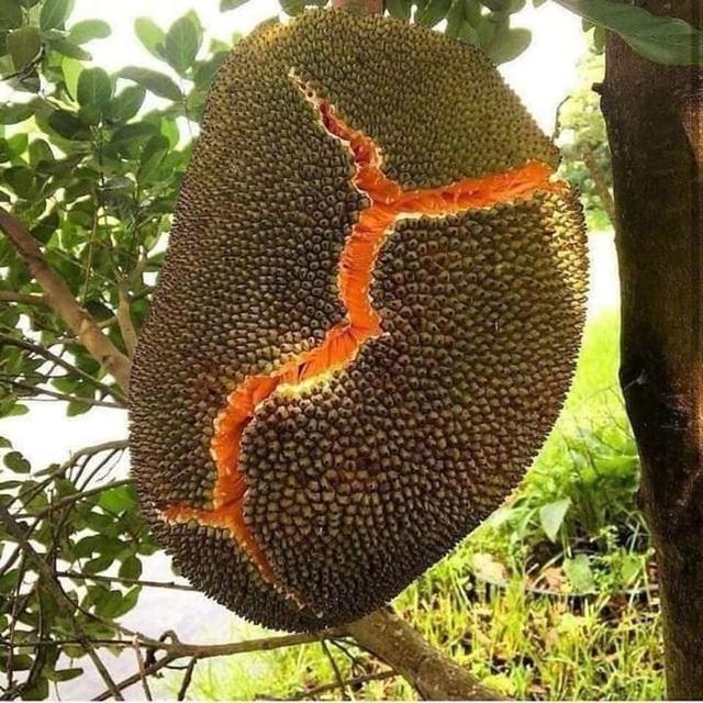 """Những giống cây ăn quả siêu năng suất khiến nông dân """"phát sốt"""" - Ảnh 3."""
