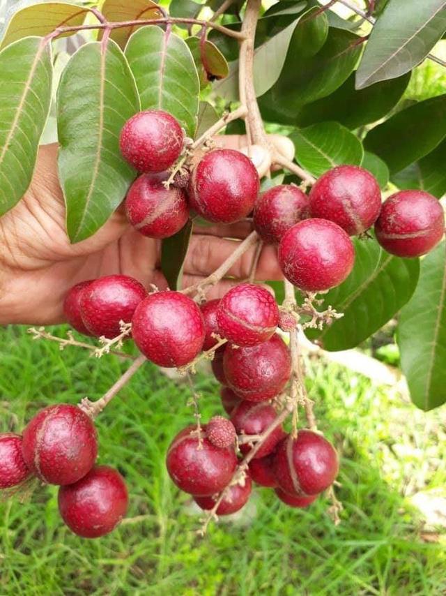 """Những giống cây ăn quả siêu năng suất khiến nông dân """"phát sốt"""" - Ảnh 5."""