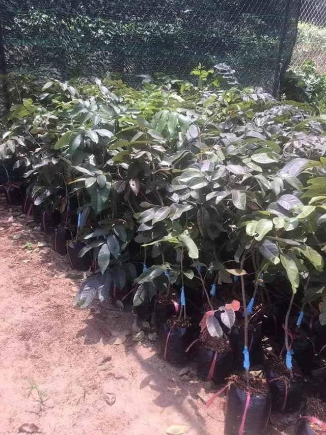 """Những giống cây ăn quả siêu năng suất khiến nông dân """"phát sốt"""" - Ảnh 6."""