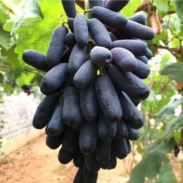"""Những giống cây ăn quả siêu năng suất khiến nông dân """"phát sốt"""" - Ảnh 7."""