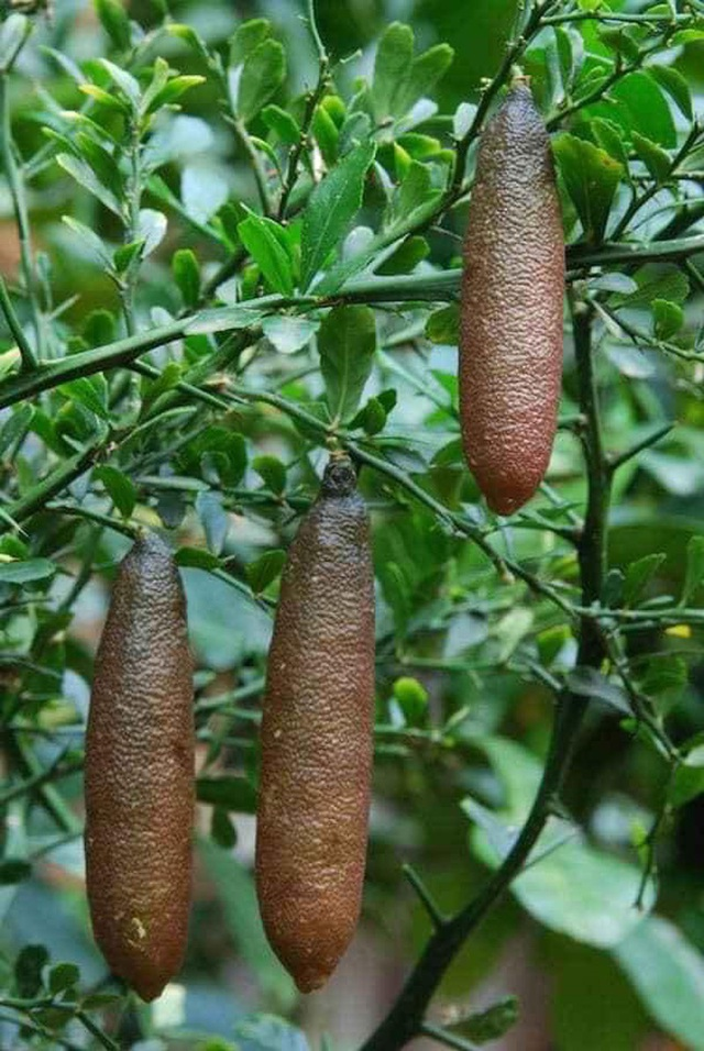 """Những giống cây ăn quả siêu năng suất khiến nông dân """"phát sốt"""" - Ảnh 9."""