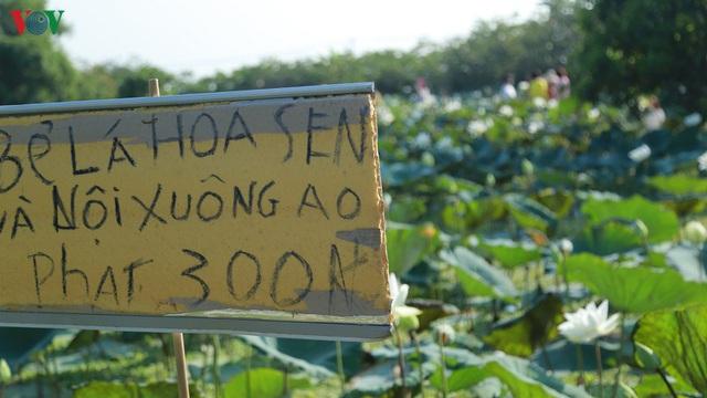 Đầm sen trắng hiếm có, giúp chủ đầm thu tiền triệu mỗi ngày ở Hà Nội - Ảnh 6.