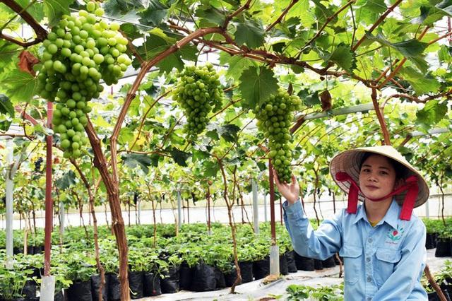 Trồng dâu tây Bạch Tuyết hiếm nhất thế giới, bán tiền triệu mỗi cân - Ảnh 3.
