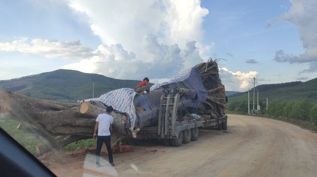 Xôn xao hình ảnh xe chở cây quái thú băng băng chạy trên đường ở Nghệ An - Ảnh 1.