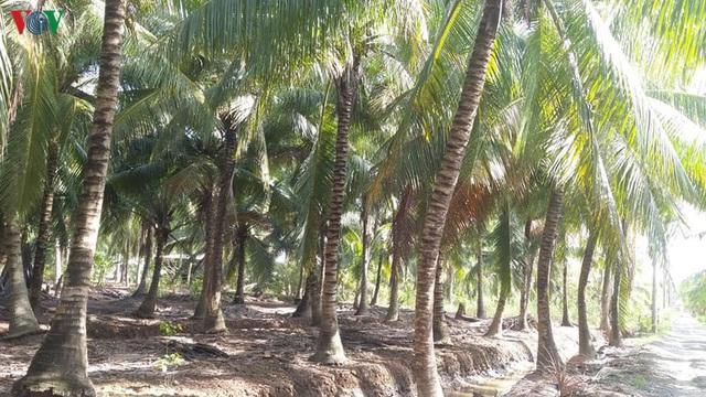 Sau hạn mặn cây dừa giảm năng suất, nhà vườn Bến Tre thất thu - Ảnh 1.