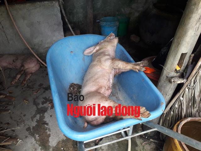 Mật phục bắt chủ trang trại bán con giống cho dân nhiễm dịch tả heo châu Phi - Ảnh 4.