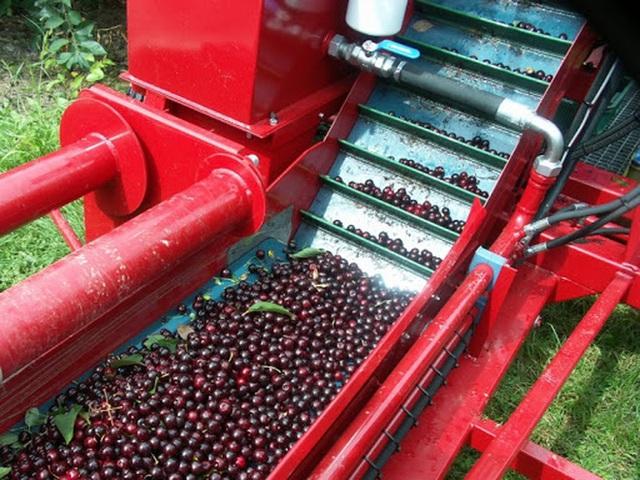 """Cảnh nông dân nước ngoài thu hoạch """"cơn mưa"""" cherry trên cây chỉ trong chớp mắt, sang đến Việt Nam được ăn 1 trái cũng khó - Ảnh 3."""