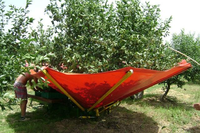 """Cảnh nông dân nước ngoài thu hoạch """"cơn mưa"""" cherry trên cây chỉ trong chớp mắt, sang đến Việt Nam được ăn 1 trái cũng khó - Ảnh 4."""