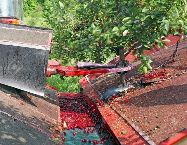 """Cảnh nông dân nước ngoài thu hoạch """"cơn mưa"""" cherry trên cây chỉ trong chớp mắt, sang đến Việt Nam được ăn 1 trái cũng khó - Ảnh 5."""