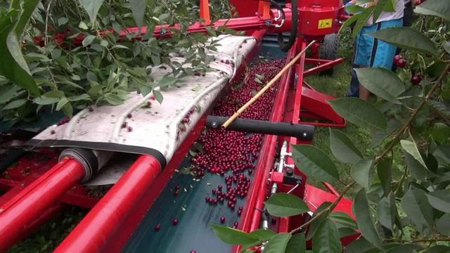 """Cảnh nông dân nước ngoài thu hoạch """"cơn mưa"""" cherry trên cây chỉ trong chớp mắt, sang đến Việt Nam được ăn 1 trái cũng khó - Ảnh 6."""
