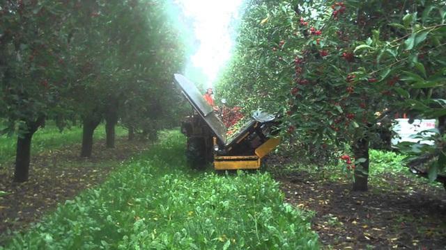 """Cảnh nông dân nước ngoài thu hoạch """"cơn mưa"""" cherry trên cây chỉ trong chớp mắt, sang đến Việt Nam được ăn 1 trái cũng khó - Ảnh 8."""
