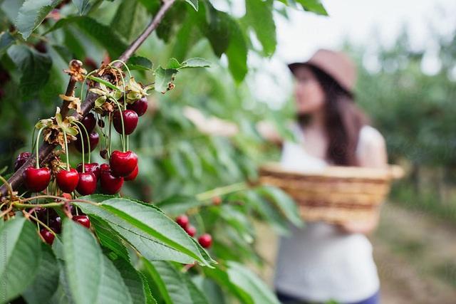 """Cảnh nông dân nước ngoài thu hoạch """"cơn mưa"""" cherry trên cây chỉ trong chớp mắt, sang đến Việt Nam được ăn 1 trái cũng khó - Ảnh 9."""