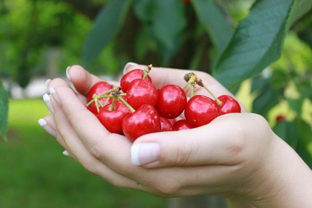 """Cảnh nông dân nước ngoài thu hoạch """"cơn mưa"""" cherry trên cây chỉ trong chớp mắt, sang đến Việt Nam được ăn 1 trái cũng khó - Ảnh 10."""