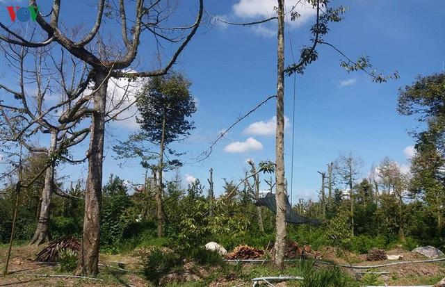 Cây sầu riêng chết hàng loạt, nhà vườn Tiền Giang ồ ạt phá bỏ vườn cây - Ảnh 1.
