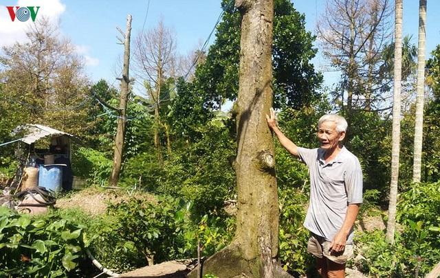 Cây sầu riêng chết hàng loạt, nhà vườn Tiền Giang ồ ạt phá bỏ vườn cây - Ảnh 2.
