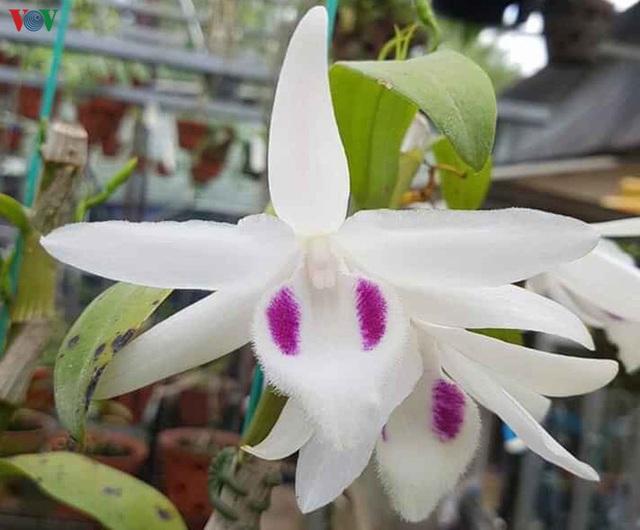 photo 1 15961552802211954940832 Cơn sốt lan đột biến tiền tỷ tràn về vựa hoa Đông La