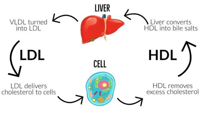 Một loại vắc-xin phòng bệnh tim mạch: Tiêm một mũi ở tuổi 20 sẽ khỏe mạnh đến suốt đời - Ảnh 3.