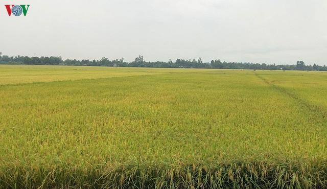 Vụ lúa Hè thu được mùa, được giá, nông dân Hậu Giang phấn khởi - Ảnh 3.