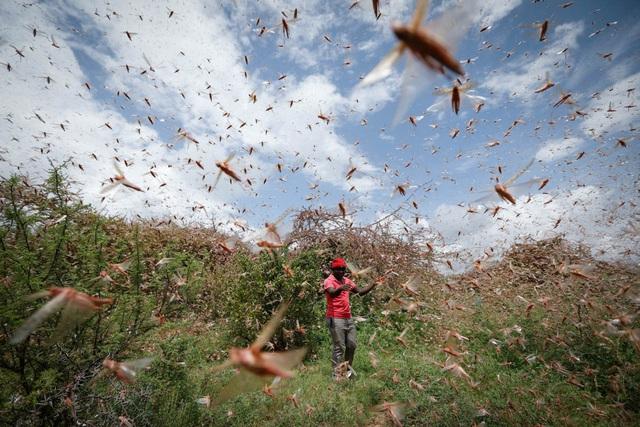 Chùm ảnh rợn người về đại dịch châu chấu đang hoành hành ở châu Phi: Binh đoàn nghìn tỷ con châu chấu với sức ăn bằng 35.000 người/ngày bay kín trời - Ảnh 3.
