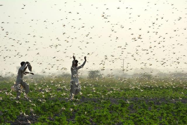 Chùm ảnh rợn người về đại dịch châu chấu đang hoành hành ở châu Phi: Binh đoàn nghìn tỷ con châu chấu với sức ăn bằng 35.000 người/ngày bay kín trời - Ảnh 9.