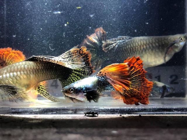 Nuôi hàng trăm bể cá, chàng trai Bến Tre trở thành triệu phú, kiếm 50 triệu đồng mỗi tháng - Ảnh 3.