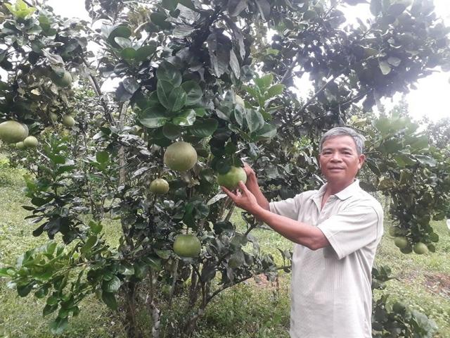 Nông dân Đà Nẵng thu hàng trăm triệu từ cây bưởi  - Ảnh 1.