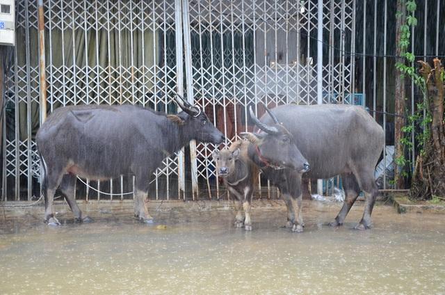 Dân Quảng Bình lùa trâu lên quốc lộ tránh lũ, cứu hộ chạy đua giải cứu bà cụ gãy chân tay kẹt trong nước - Ảnh 4.