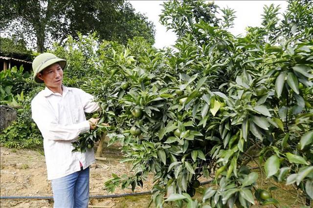Người tiên phong trồng cam ghép trên gốc bưởi đạt hiệu quả cao - Ảnh 1.