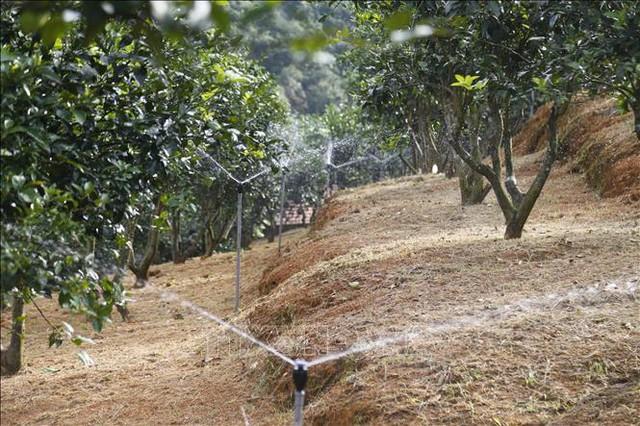 Người tiên phong trồng cam ghép trên gốc bưởi đạt hiệu quả cao - Ảnh 2.