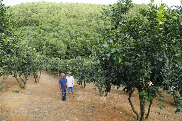 Người tiên phong trồng cam ghép trên gốc bưởi đạt hiệu quả cao - Ảnh 3.