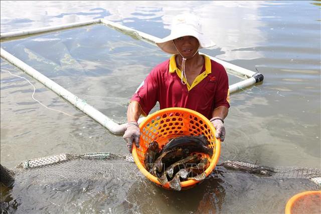 Nông dân Khánh Hòa nuôi cá mú đạt hiệu quả kinh tế cao - Ảnh 1.