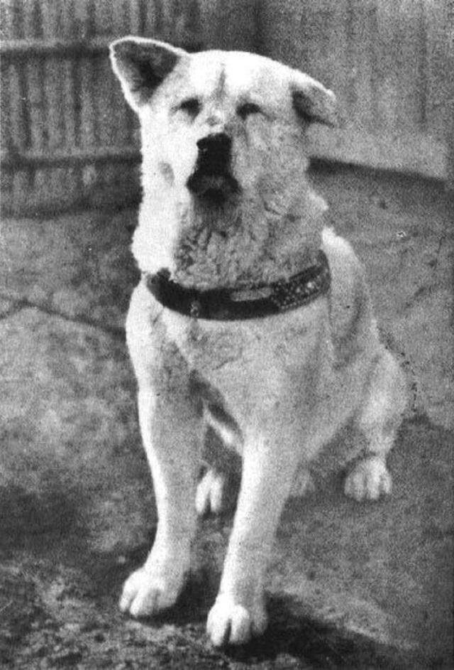 Những bức ảnh hiếm hoi về Hachikō - biểu tượng trung thành của người Nhật khiến người xem cảm tưởng câu chuyện đau lòng ấy đang diễn ra trước mắt - Ảnh 1.
