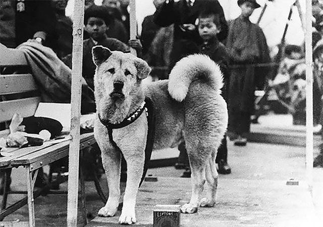 Những bức ảnh hiếm hoi về Hachikō - biểu tượng trung thành của người Nhật khiến người xem cảm tưởng câu chuyện đau lòng ấy đang diễn ra trước mắt - Ảnh 2.