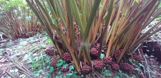 Thu hàng trăm triệu đồng mỗi năm từ trồng cây dược liệu - Ảnh 2.