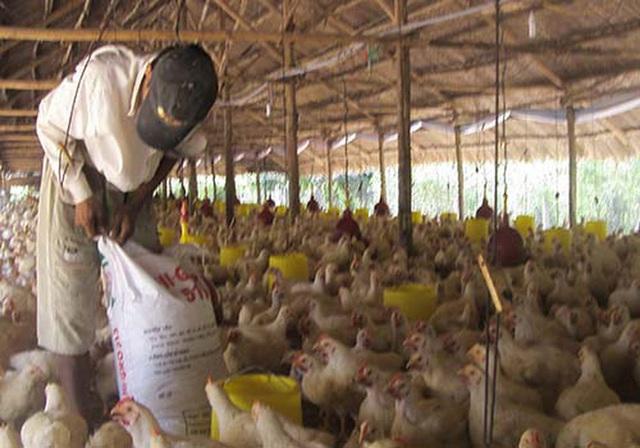 Bất hợp lý: Giá gà công nghiệp ở miền Bắc cao hơn miền Nam đến 60%  - Ảnh 2.