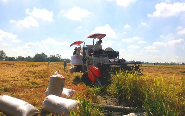 Lúa gạo trúng mùa được giá - Ảnh 1.