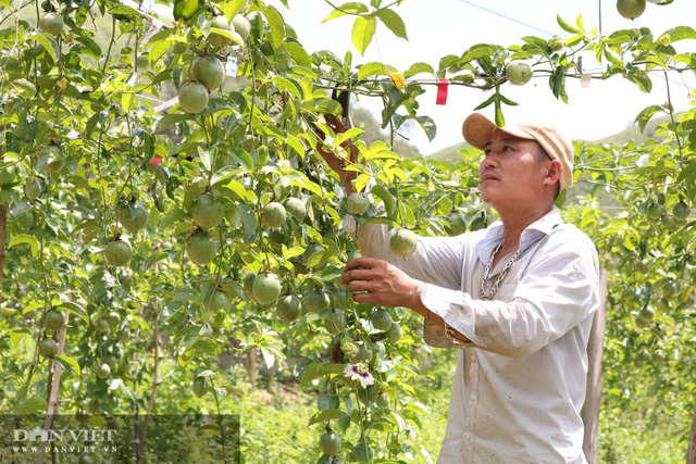 Sơn La: Trồng chanh leo, nhìn đâu cũng thấy trái, ông nông dân người Mông thu hàng trăm triệu - Ảnh 1.