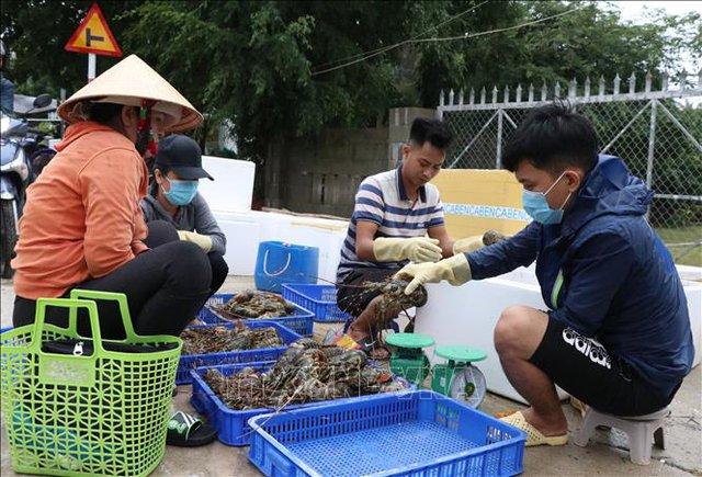 Phú Yên: Sau bão số 12, tôm hùm chết hàng loạt khiến người dân điêu đứng  - Ảnh 3.
