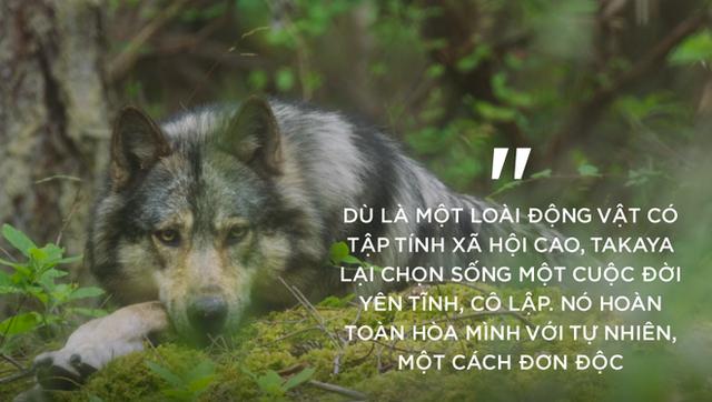 Cái chết cô độc của Takaya: Con sói dị nhất thế giới và lời tiên tri cảnh tỉnh loài người - Ảnh 2.
