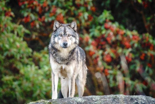 Cái chết cô độc của Takaya: Con sói dị nhất thế giới và lời tiên tri cảnh tỉnh loài người - Ảnh 4.