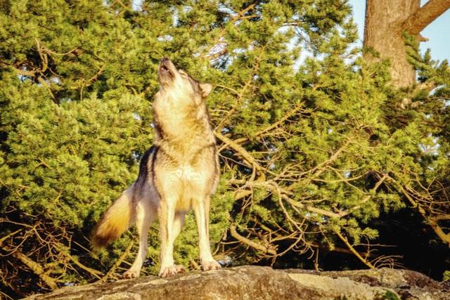 Cái chết cô độc của Takaya: Con sói dị nhất thế giới và lời tiên tri cảnh tỉnh loài người - Ảnh 5.